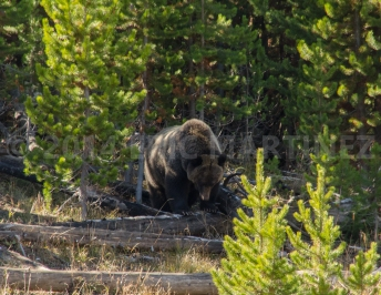 Grizzly in Yellowstone NP, WY