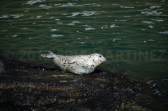 Harbor Seal near Newport, OR