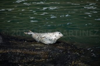 Harbor Seal near Newport, OR