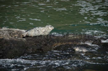 Harbor Seals near Newport, OR