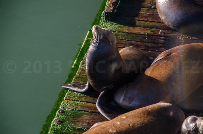 Sea Lions in Newport, OR