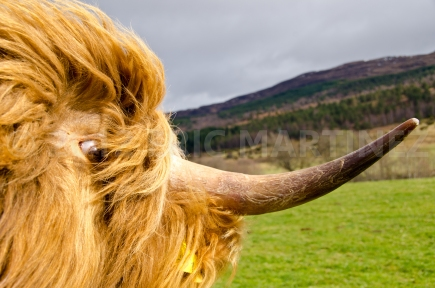 Highland Cow in Scotland