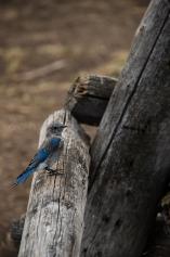 Mountain Bluebird, Grand Teton NP, WY