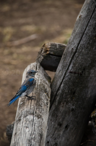 Mountain Bluebird, Grand Teton NP, WY