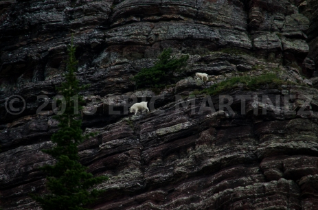Mountain Goats in Glacier NP, MT