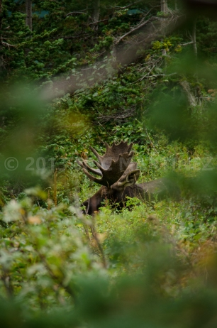 Moose in Glacier NP, MT