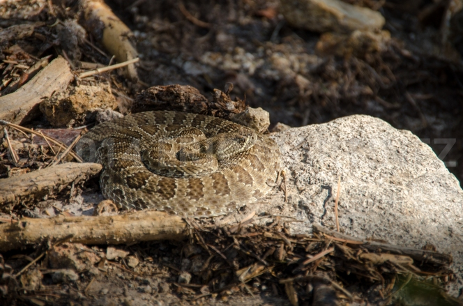 Rattlesnake, Philmont Scout Ranch, NM