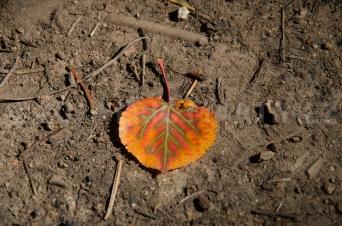 Aspen Leaf, Philmont Scout Ranch, NM