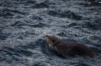 Beaver in Yellowstone NP, WY