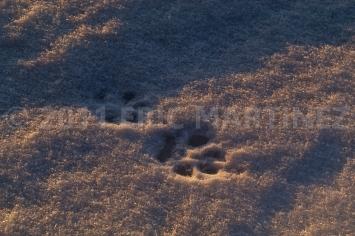 Wolf Tracks in Minnesota