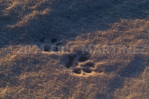 Wolf Tracks in Minnesota