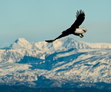 Eagle in Homer, AK