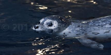 Harbor Seal in Alaska