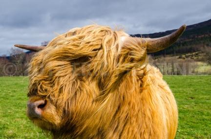 Highland Cow in Scotland