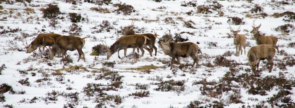 Red Stag, Scottish Highlands