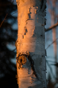 Paperbark Birch in Minnesota