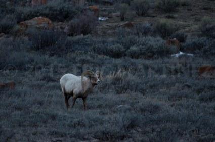 Bighorn Sheep, National Elk Refuge, Jackson, WY