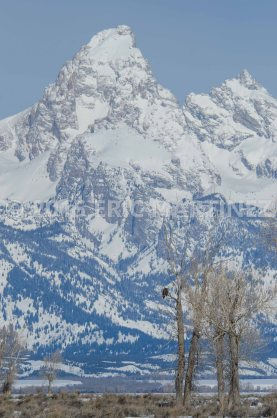 Bald Eagle and the Grand Teton, Grand Teton NP, WY