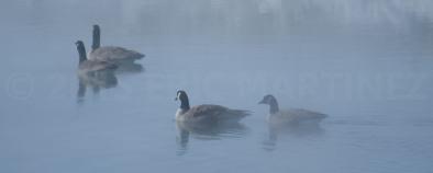 Canada Geese, Jackson Hole, WY