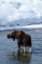 Moose, Jackson Hole, WY
