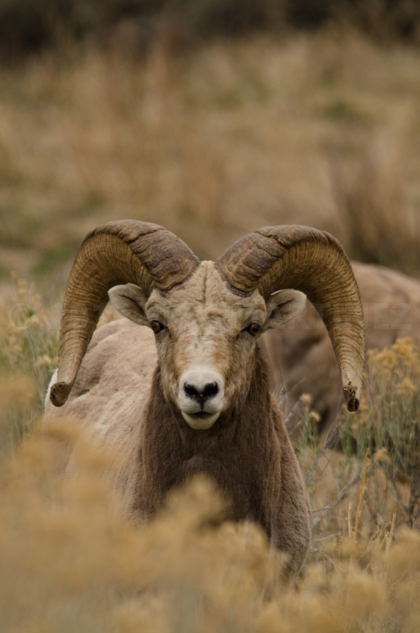 Bighorn Sheep in New Mexico