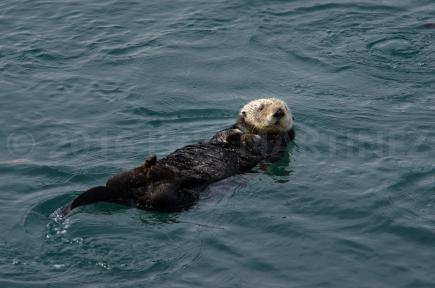 Sea Otter in Morro Bay, CA