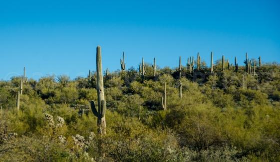 Saguaro Cactus, Arizona