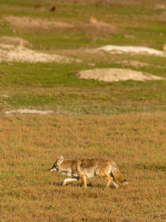 Coyote in Theodore Roosevelt NP, ND