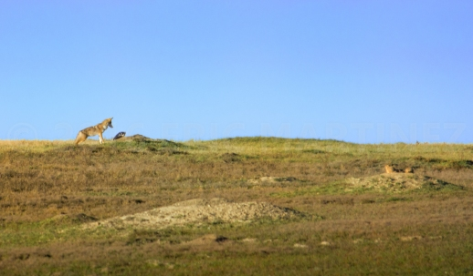 Coyote and Badger Hunting Prairie Dogs in Theodore Roosevelt NP, ND