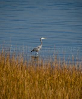 Great Blue Heron, Charleston, SC