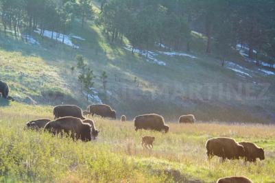 American Bison, Custer State Park, Black Hills, SD