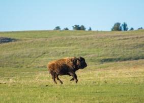 American Bison, Black Hills, SD