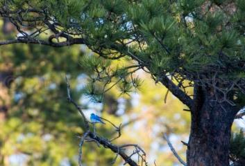 Mountain Bluebird, Black Hills, SD