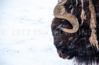 Muskox in Alaska