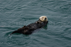 Sea Otter in California