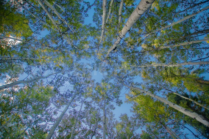 Aspen Trees in New Mexico