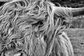 Highland Cow, Scotland