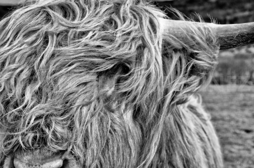 Highland Cow, Scotland