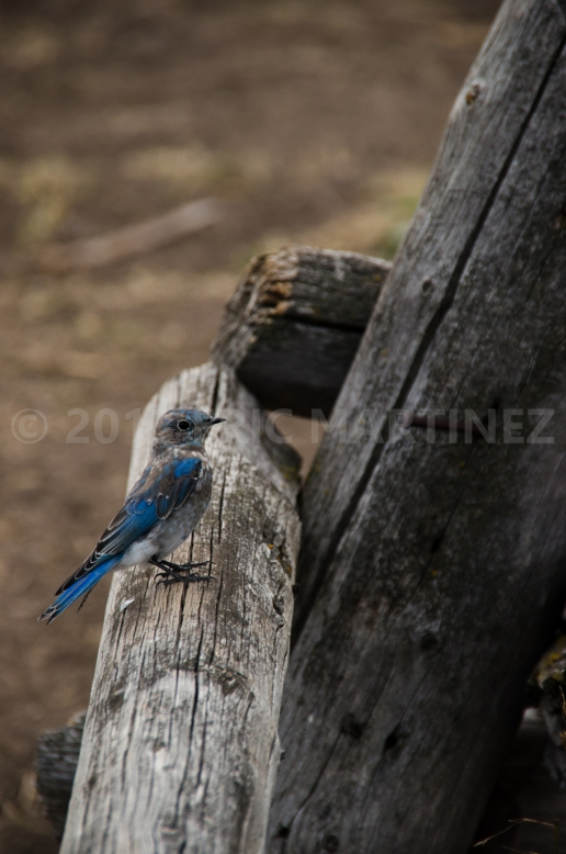 Mountain Bluebird, Grand Teton National Park, WY