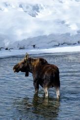 Moose in Wyoming