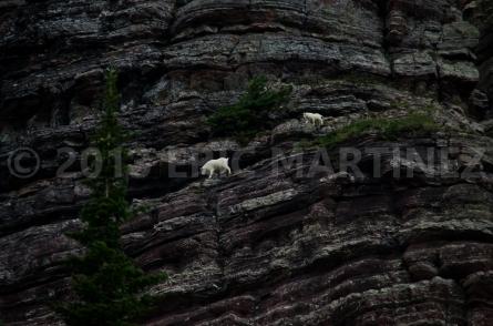 Mountain Goats, Glacier NP, MT