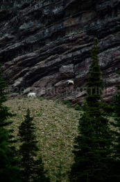 Mountain Goats, Glacier NP, MT