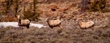 Bighorn Sheep, Gunnison County, CO