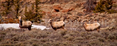 Bighorn Sheep, Gunnison County, CO