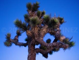 Yucca in California