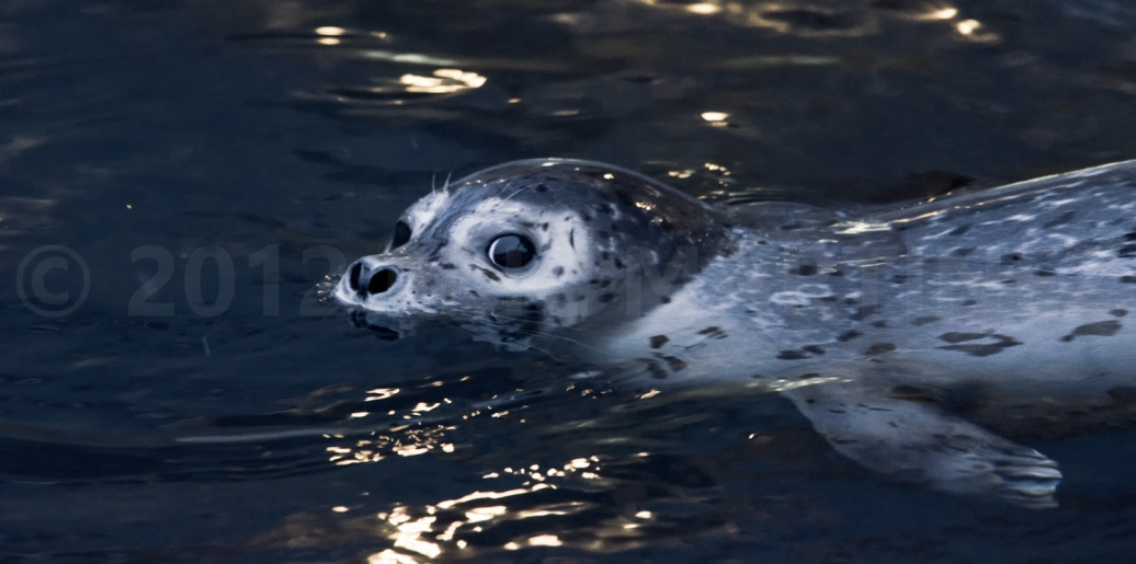 Harbor Seal in Alaska