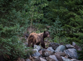 Black Bear in Carson National Forest, NM
