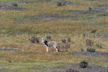 Coyote at Philmont Scout Ranch