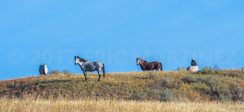 Wild Mustangs, Theodore Roosevelt National Park, North Dakota