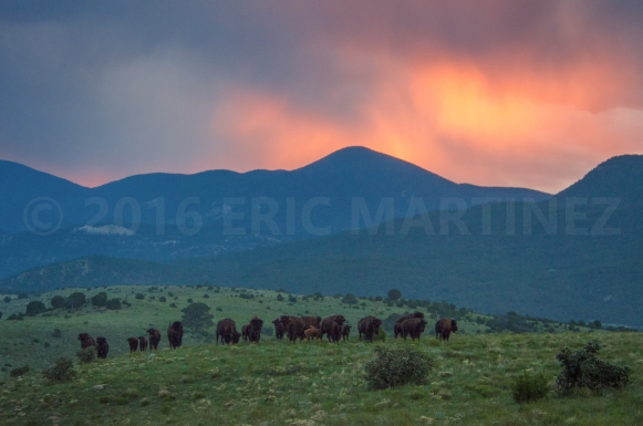 Bison Herd, Philmont Scout Ranch, New Mexico
